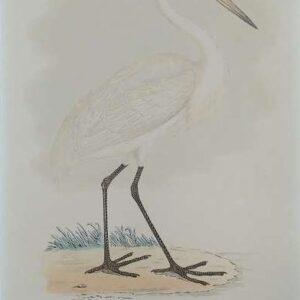 Litho, Great white heron