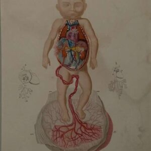 Homme, Circulation du sang chez  le foetus, uit, Dictionnaire universel d'histoire naturelle