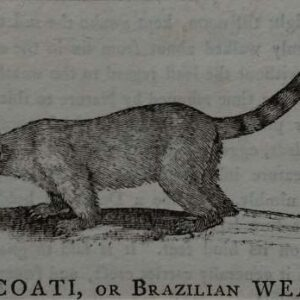 Gravure, the Coati or Brasilian Weasel uit  A History of Quadrupeds door Thomas Bewick.