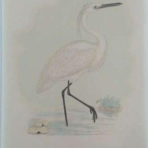 litho, Little egret