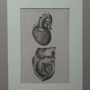 Anatomie humaine plate 8, The hart