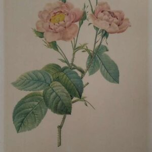 Litho Rosa Centifolia Annemonoides, naar Pierre-Joseph Redouté