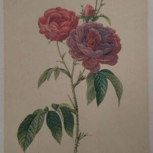 Litho Rosa Galica, naar Pierre-Joseph Redouté
