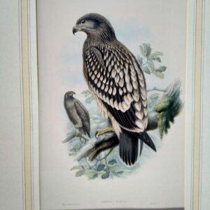 Aquila Nӕvia (gevlekte arend) door Joseph Wölf en Henry Constantine Richter