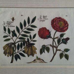 L. Fraxinus en l. Rosa, afkomstig uit Hortus Floridus fasicle
