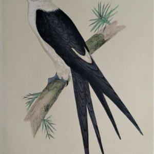 Zwaluwstaartwouw