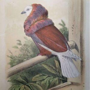 De Raadsheer duif