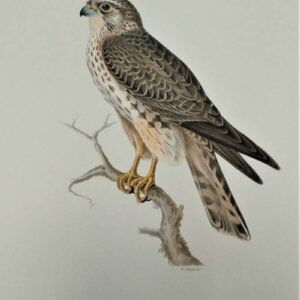 Falco aesalon